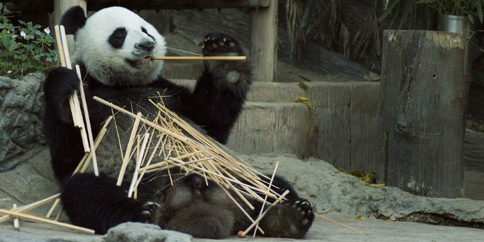 Panda Sinaforum